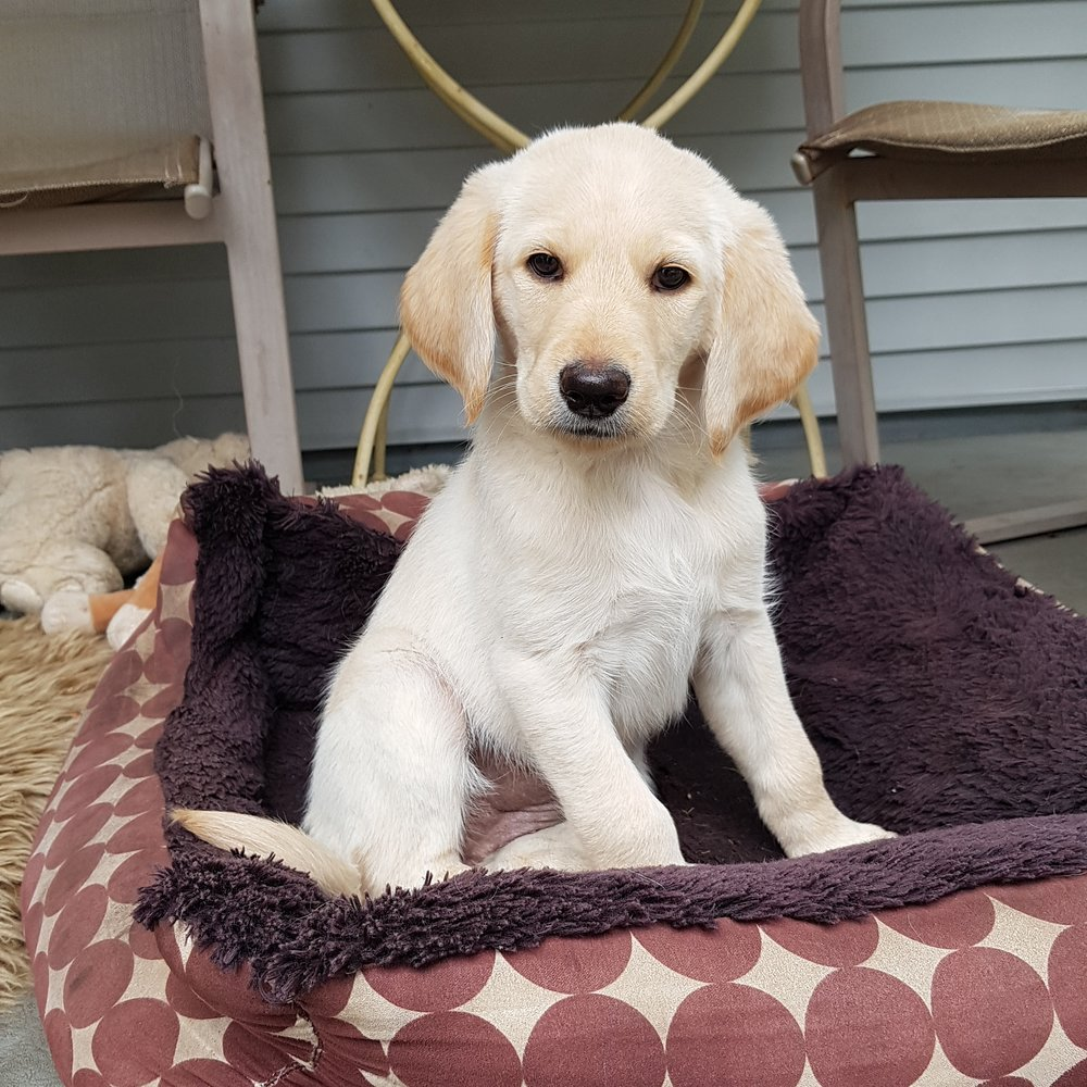 lab retriever puppy