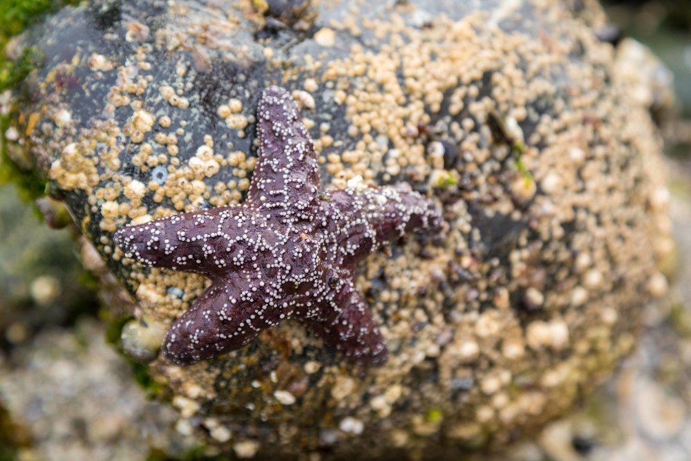 starfish on vancouver island
