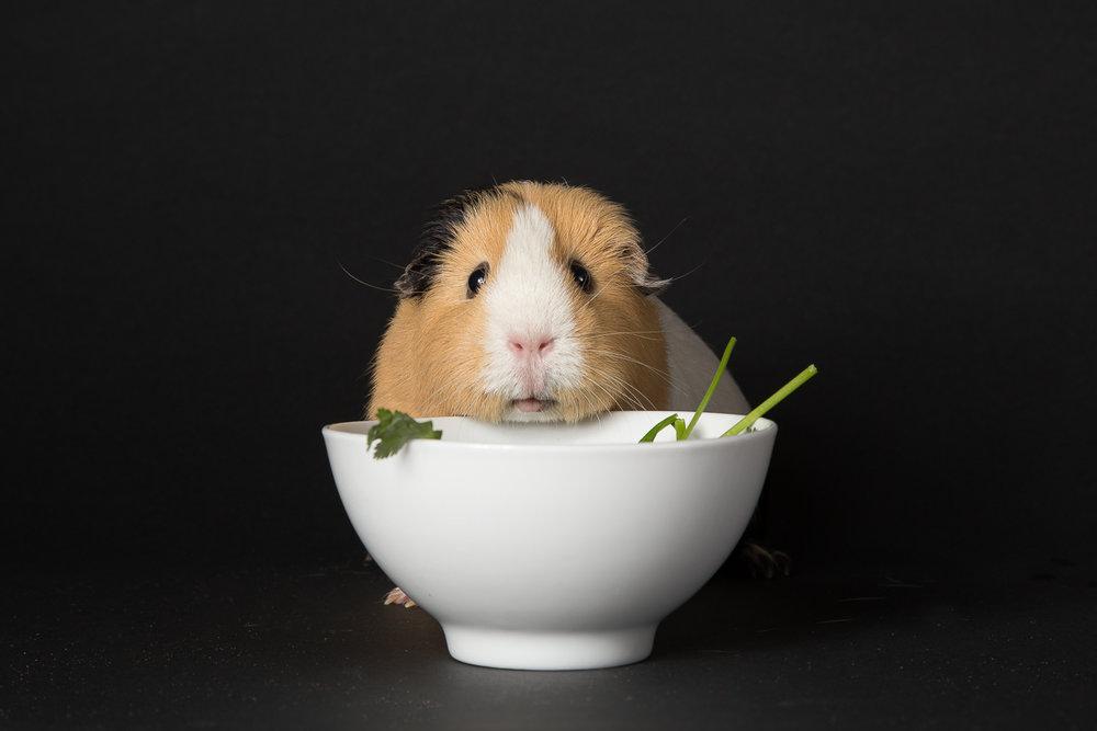 guinea pig-6907.jpg