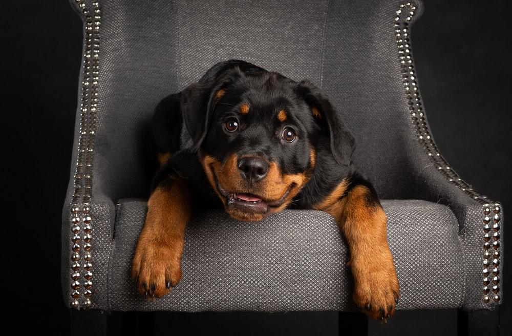 Studio shot of Rottweiler puppy