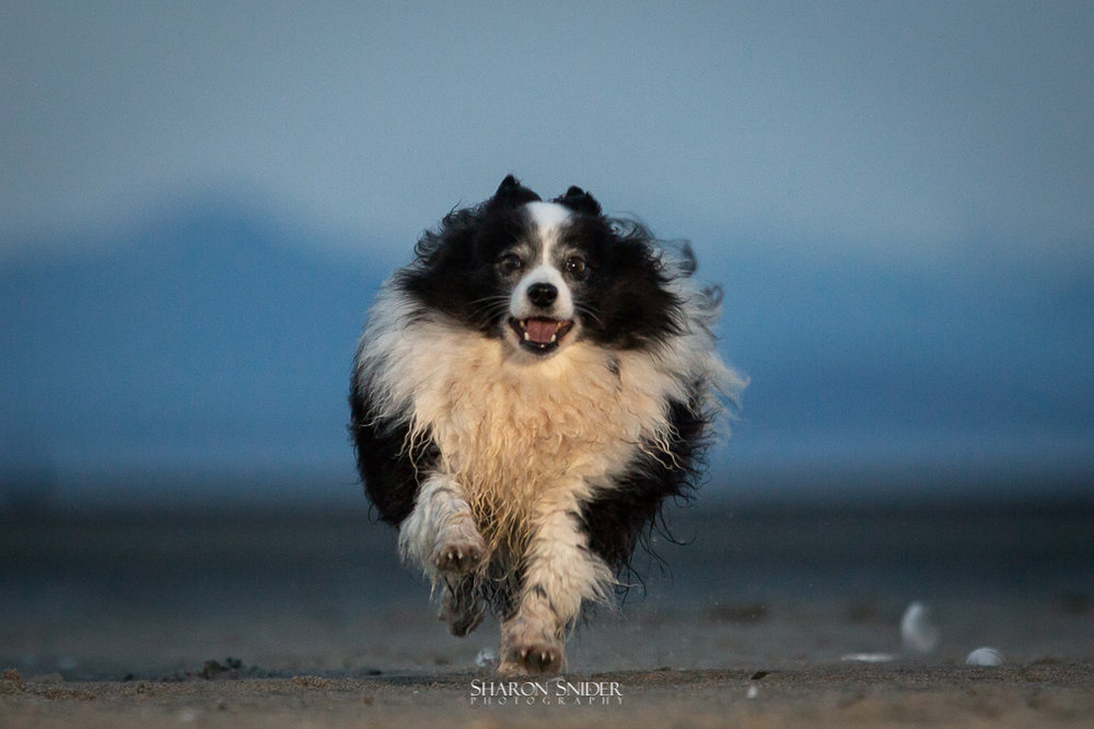 running dog on beach