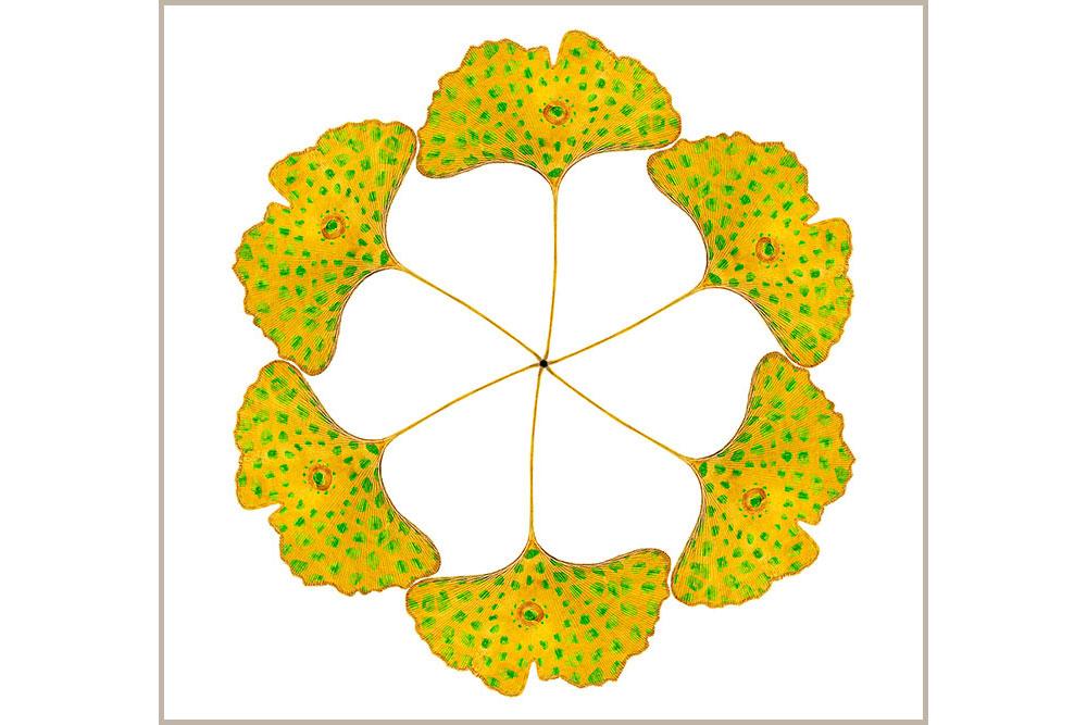 Ginko-Leaf-circle-beige-667.jpg