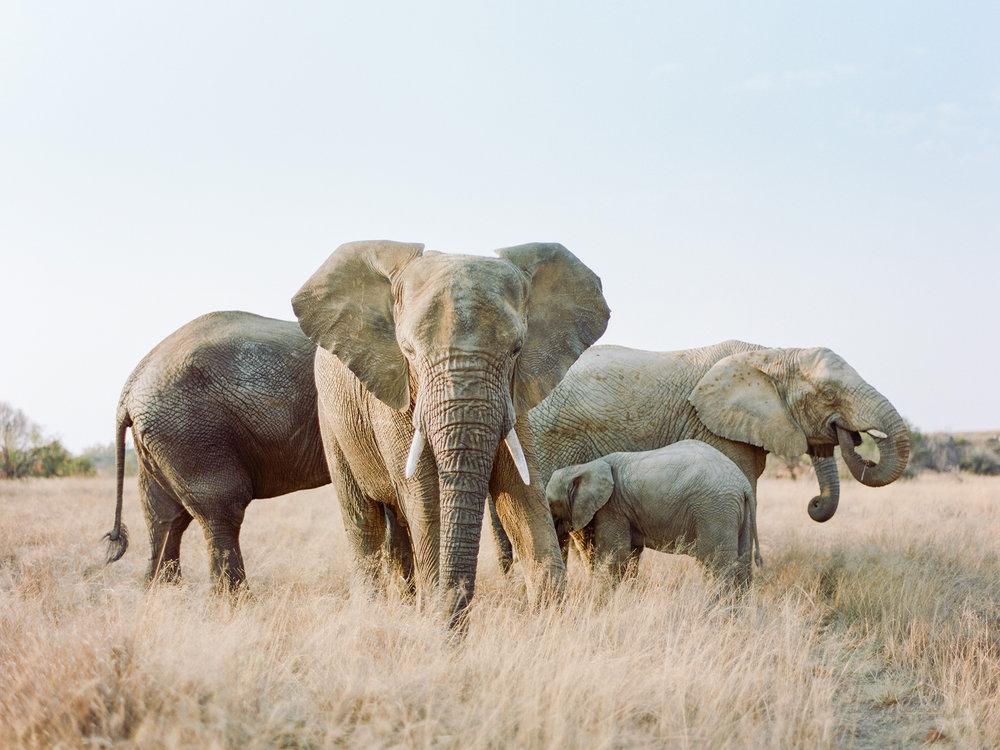 AFRICAN ELEPHANT   Rensche Mari