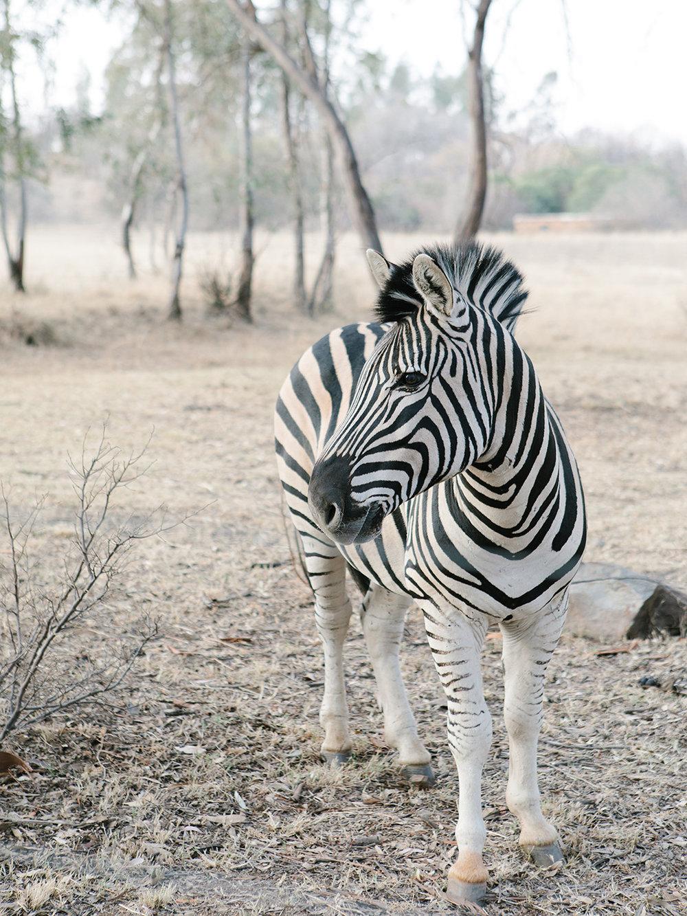 Zebra   Rensche Mari