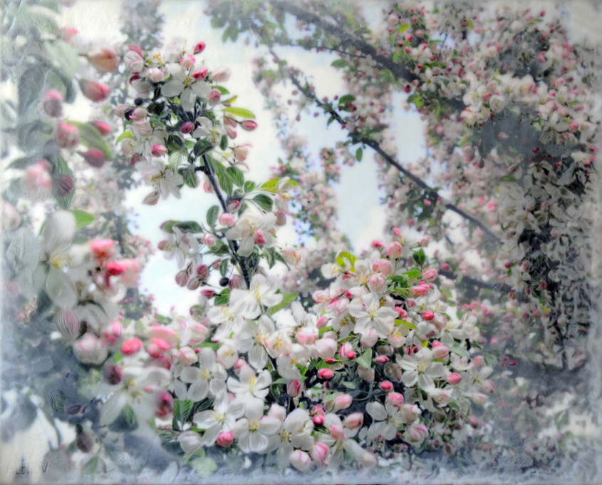 Crabapple Blossoms II   (NA)