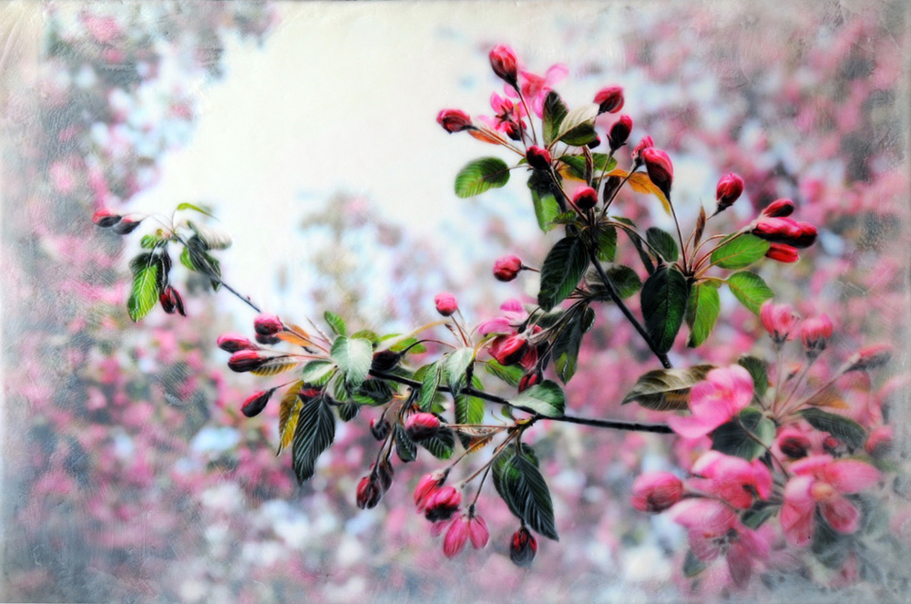 Crabapple Blossoms I   (NA)
