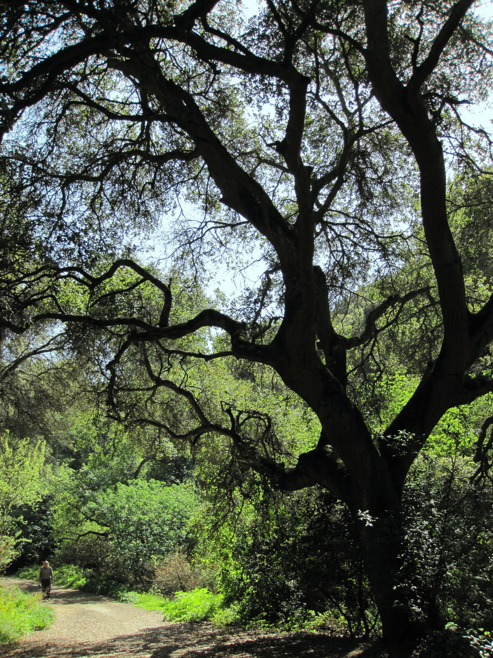Coast Live Oak, upper Rifle Range Creek