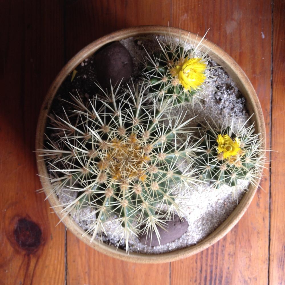 barrelcactus