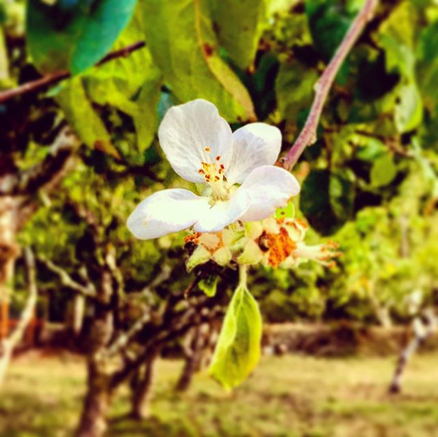 #nature, whatcha thinkin'? #apple #blossom in #autumn in #humboldt #wrigleysapples #orchard in #elkriver #california #thenorthern section in #redwoodforest and #coastal #marine #microclimates #strangerthings to come #explorehumboldt #cider