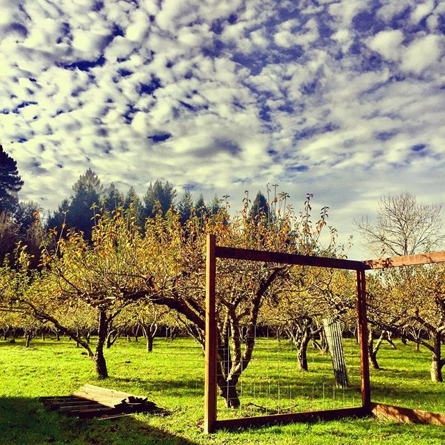 It was really that #green in the #appleorchard plus, #sky with some #clouds at #wrigleysapples #northerncalifornia #explorehumboldt #humboldt #california #redwoods are you #cirrus about #cider ?