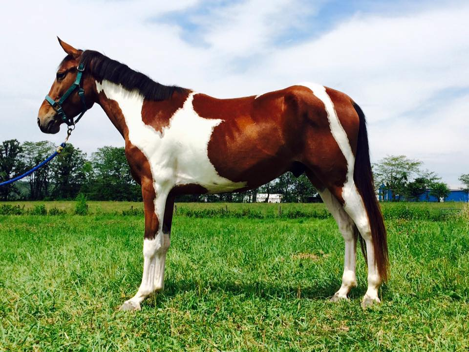 Skittles. 2011 TW/cross tri colored pinto pony. 14hh. Gaited.
