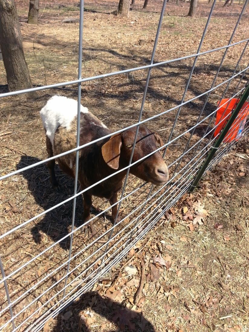 Hello, Mr. Goat!