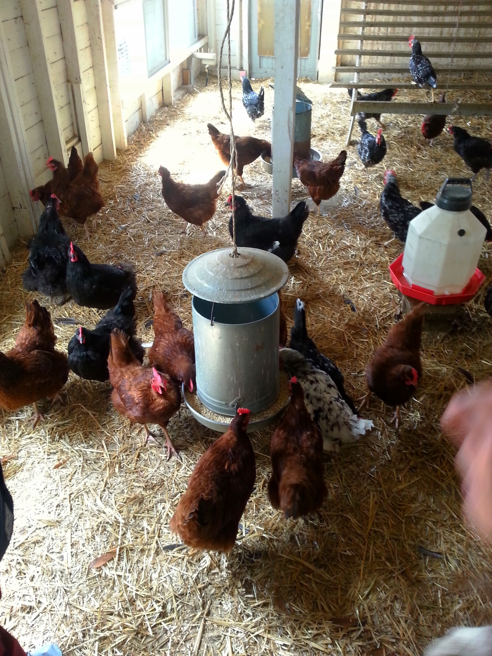 Hanging out in the hen house