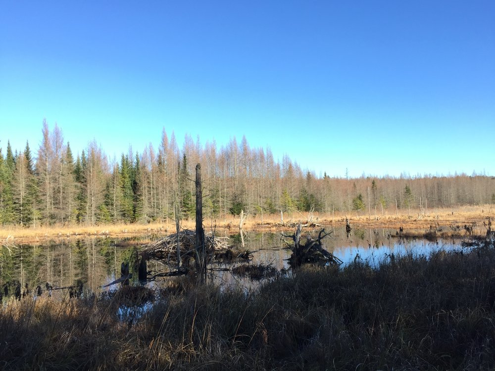 A large beaver lodge in our search area.