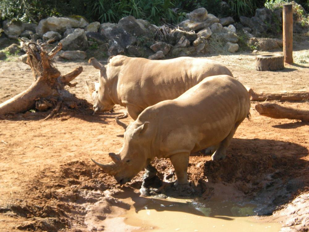 White_Rhino_Brevard_Zoo.jpg