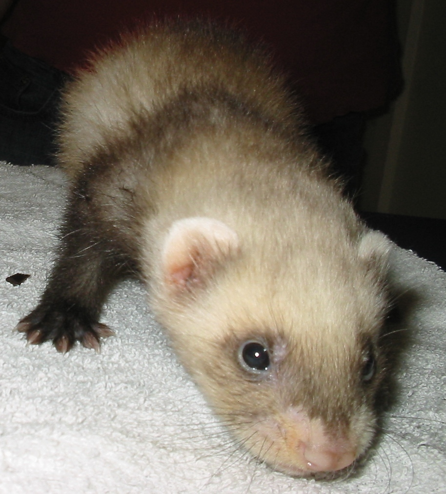 6 Week old Ferret Pup