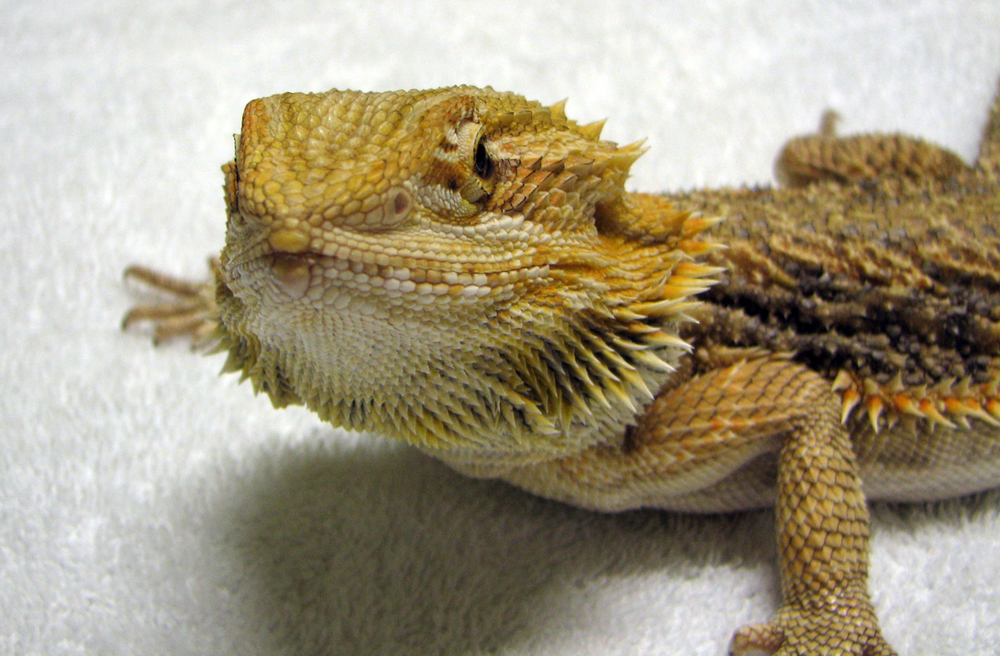 Bearded Dragons are popular as pets
