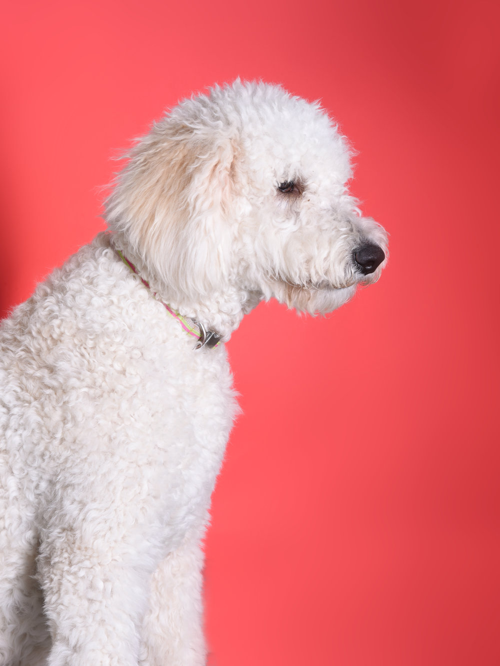 SandyKeeper of the Gates - While we have been informed that sandy is a Golden-Doodle (Golden Retriever Labrador cross Poodle), we suspect that she is actually a runt of a Polar Bear.Contact Sandy by whistling loudly and wildly throwing a bone above your head.