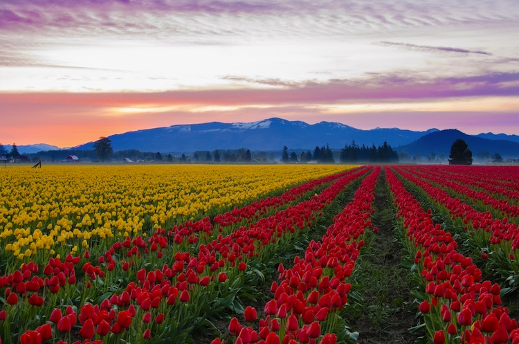 Skagit Valley Tulip Fields in Washington