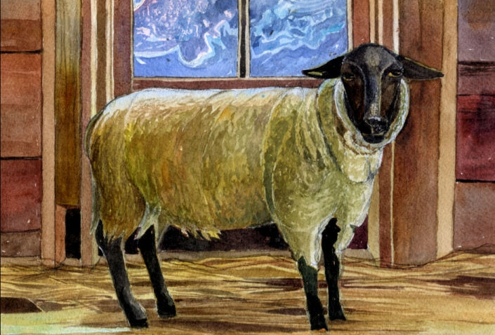 sheep in shed