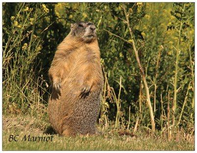 11. BC marmot