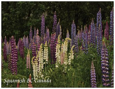19. Lupines-1