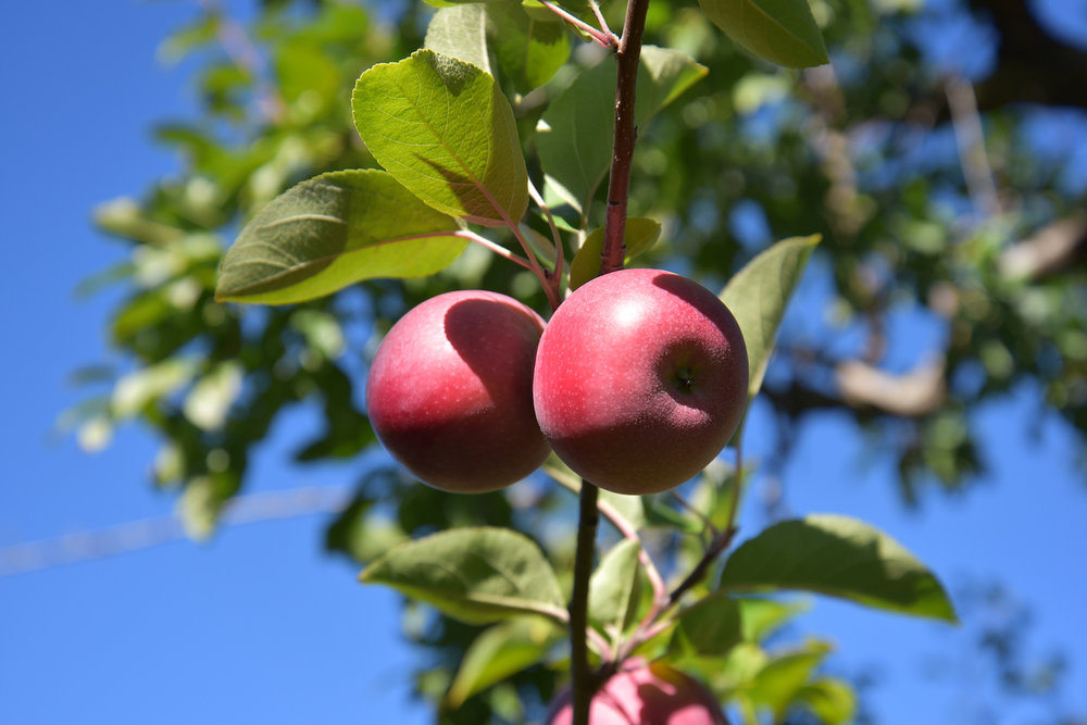 EL_Apple_Picking_2016_009.jpg