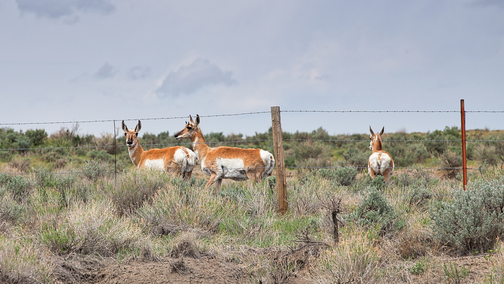 Antelope looking out
