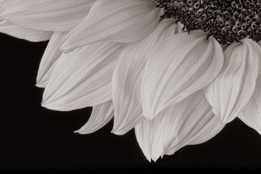 Cathy Pemberton. Sunflower, 2011. inkjet print, 14 x 21 in. Edition 4:50. Framed.