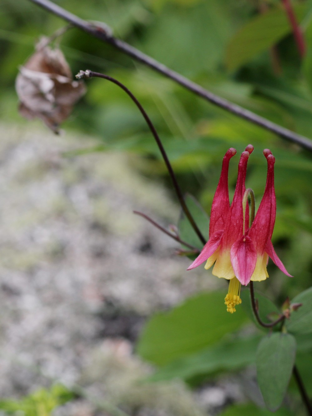 Flower - Isle Royale, MI - July 2014