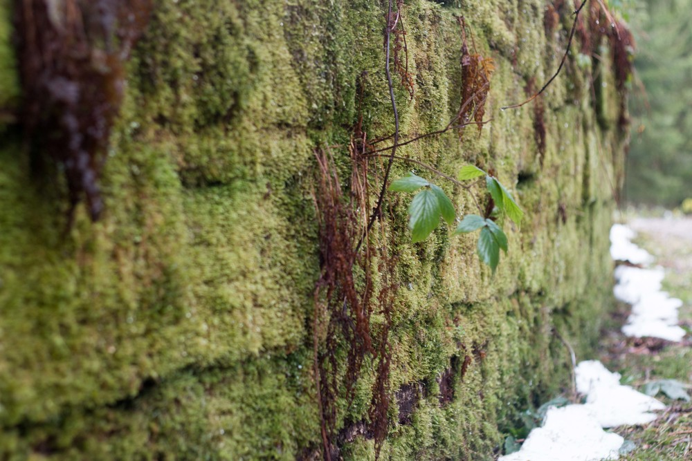 Moss growing along the dam wall