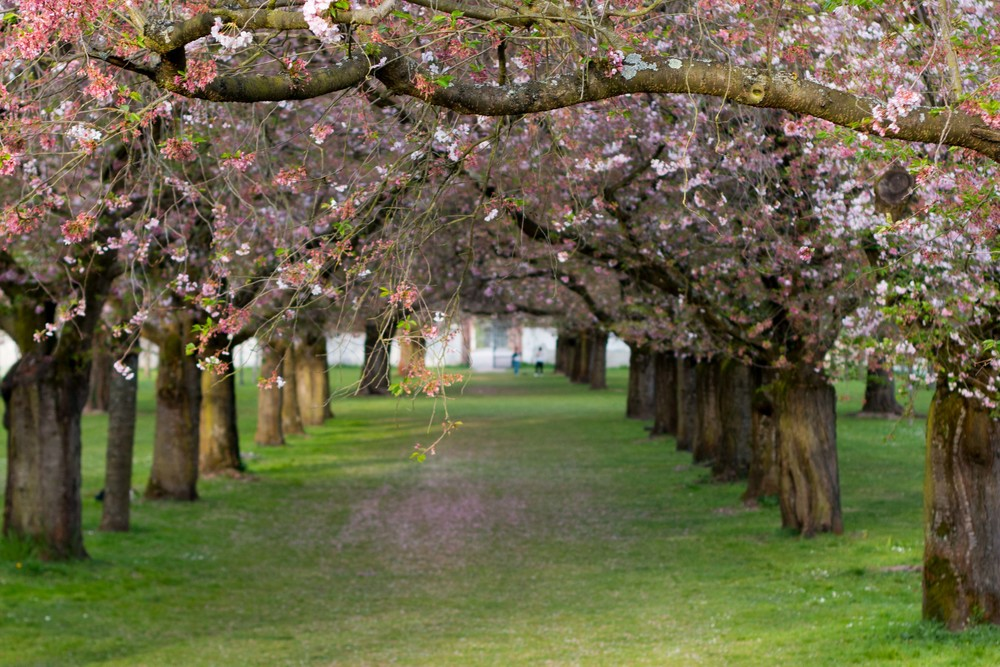 cherry blossoms in bloom at the Schwetzingen Gardens