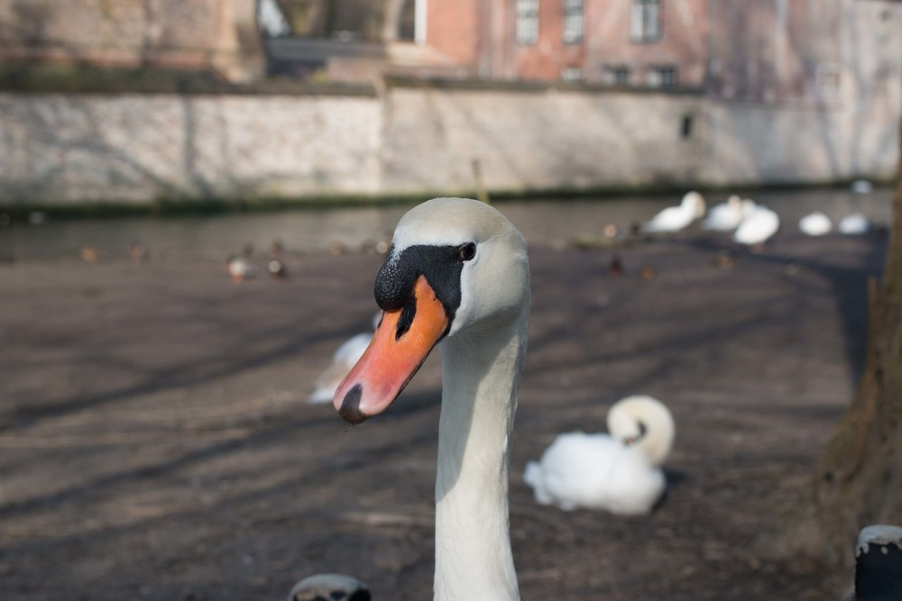 The Swans of Bruges