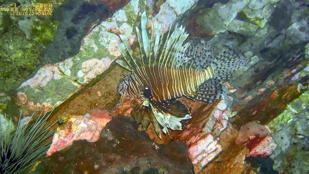 lion fish. photo courtesy of  Dustin Ainsworth  of  SouthEast Texas Scuba