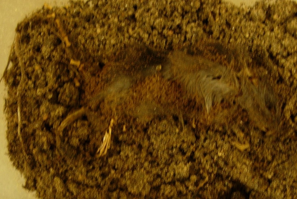 A decomposed mouse. We sampled the microbes during decomposition of this and other mice to identify the microbes present during decomposition.