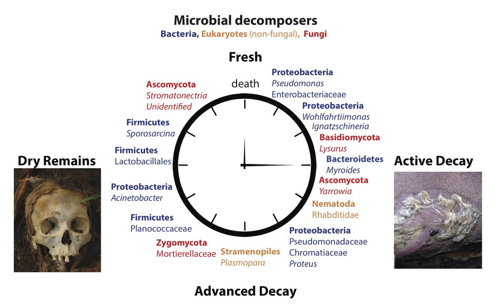 Because microbial communities assemble so differently as time since death (Post Mortem Interval/PMI) progresses, forensic scientists will be able to apply this knowledge to determine when a subject may have died, which is vital evidence, in many cases, for investigators to reconstruct the crime scene.