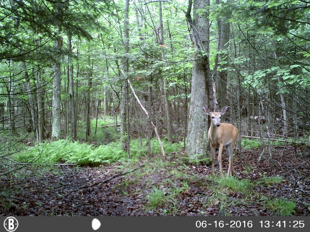 A visitor to our camp....The whitetail super highway runs through the property.