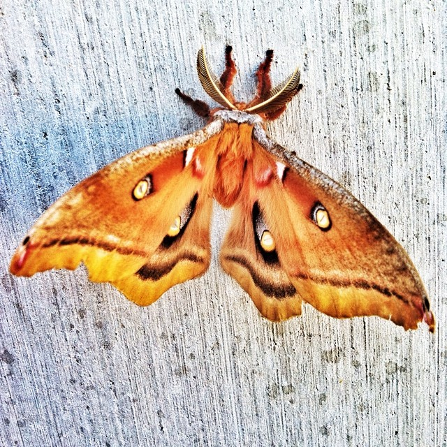 Crazy nature stuff. Anyone know what this giant moth is called?