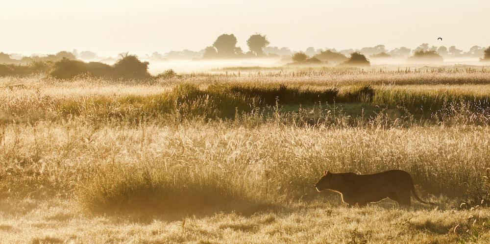 Lion stalking.jpg