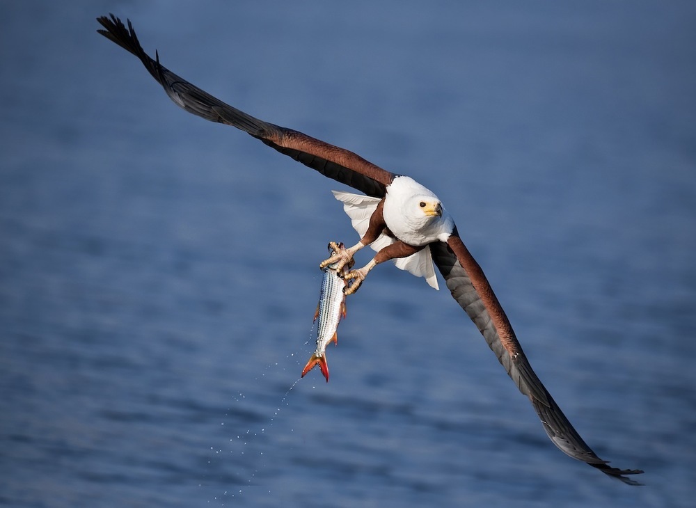 fish-eagle-catch1.jpg