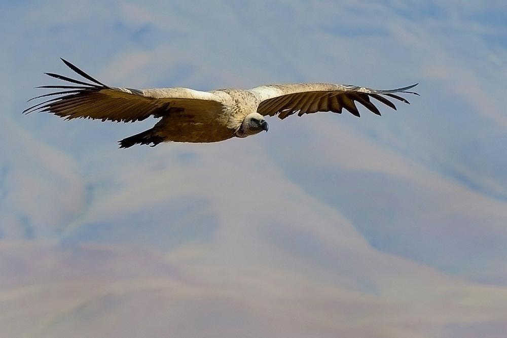 Vulture in flight.jpg