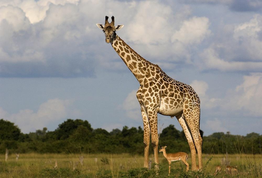 giraffe-antelope.jpg