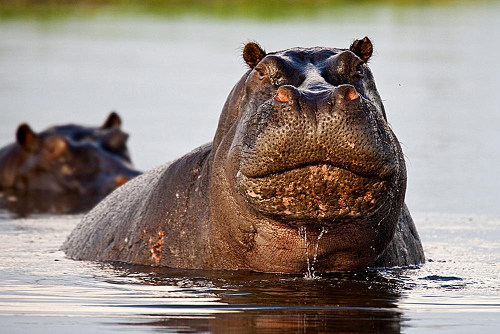 Grumpy Hippo.jpg