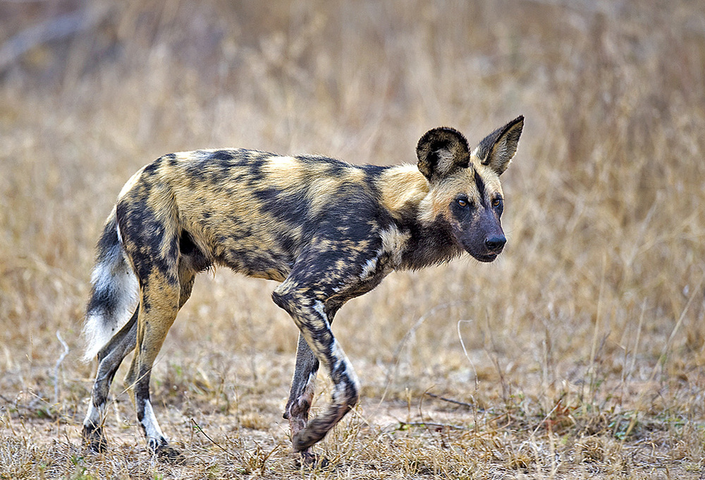 Wild dog running.jpg