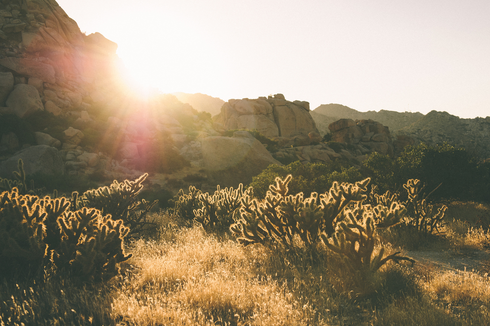 Golden Cholla cactus,as mean as they come.