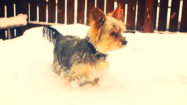 Benson a Yorkie from Huddersfield playing in the snow, his loving owner Victoria said he loves playing in the snow.