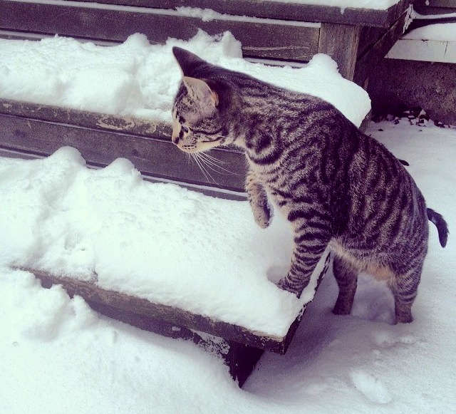 Spock a male cat exploring his first steps in the snow in Selby