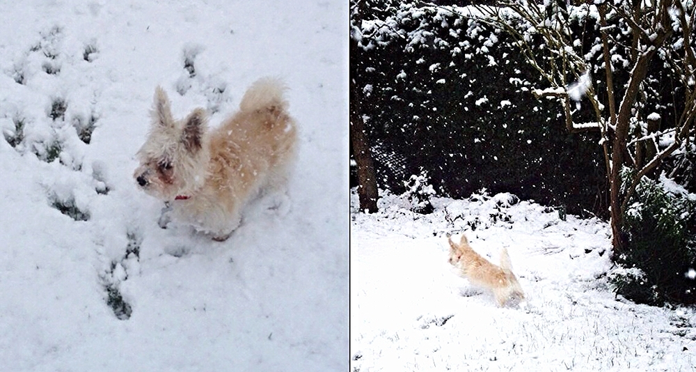Charlie 2 years old from York. His owner Julia Sykes 25 said, ''He really loves the snow''.