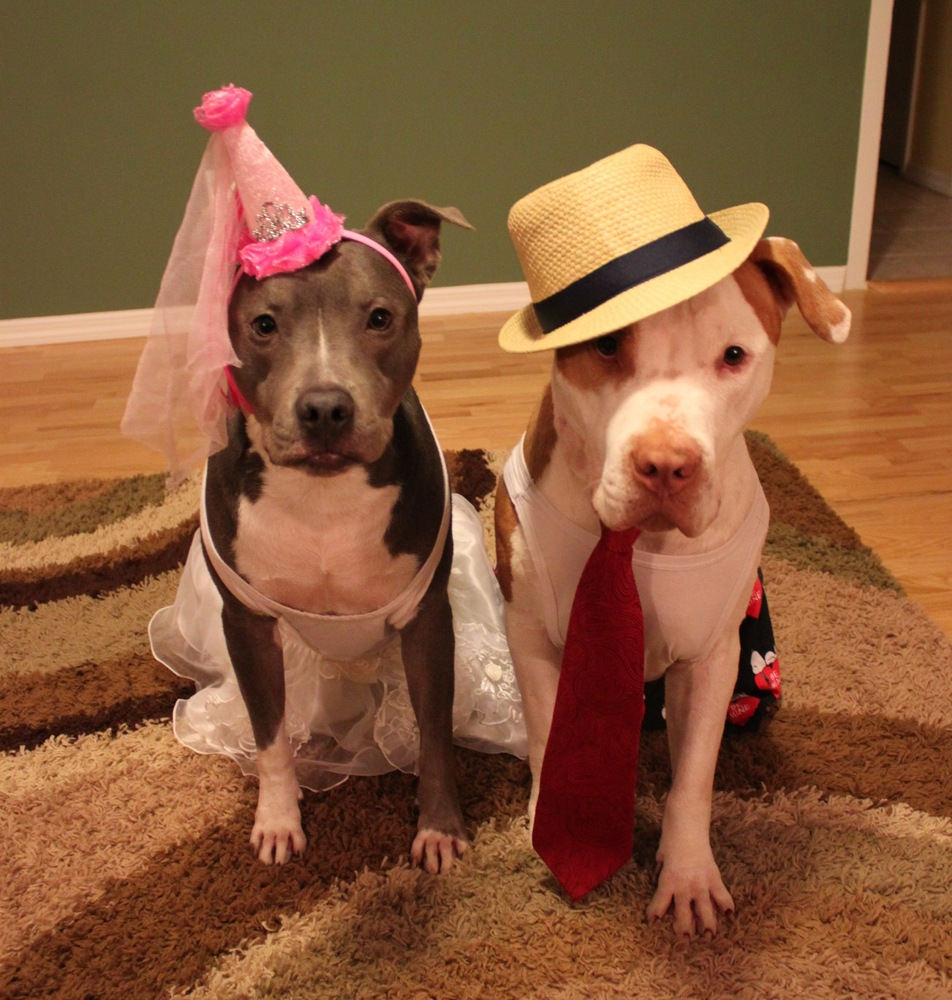 Pit Bull Terriers amp Breeddiscriminatory Laws  FAQs