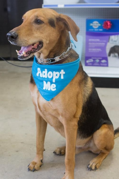 Handsome Henry (available for adoption!) is a very healthy 8 year old German Shepherd mix; he is neutered, and he is a loyal companion who responds very well to commands. Henry is looking for his forever home where he can spend many more years hiking and playing.